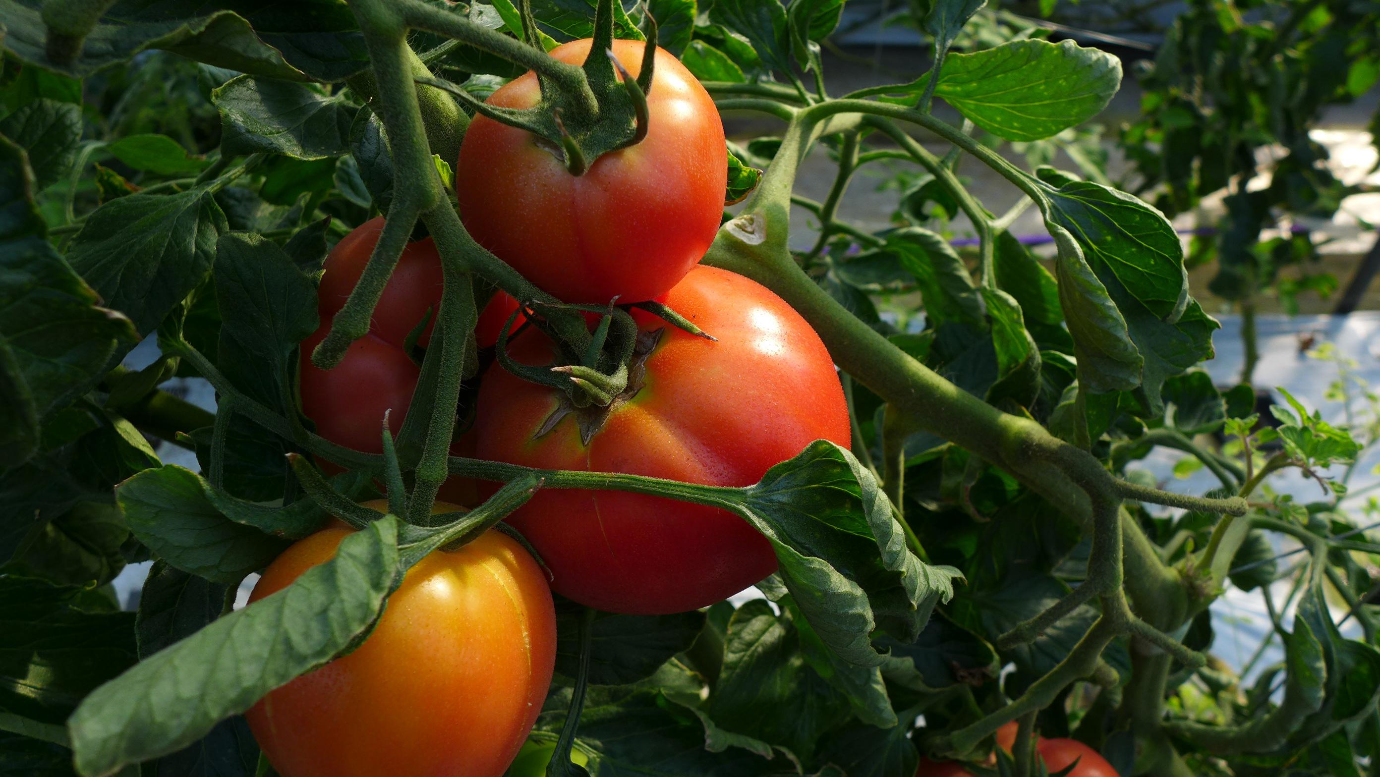 水気耕栽培で育ったトマト
