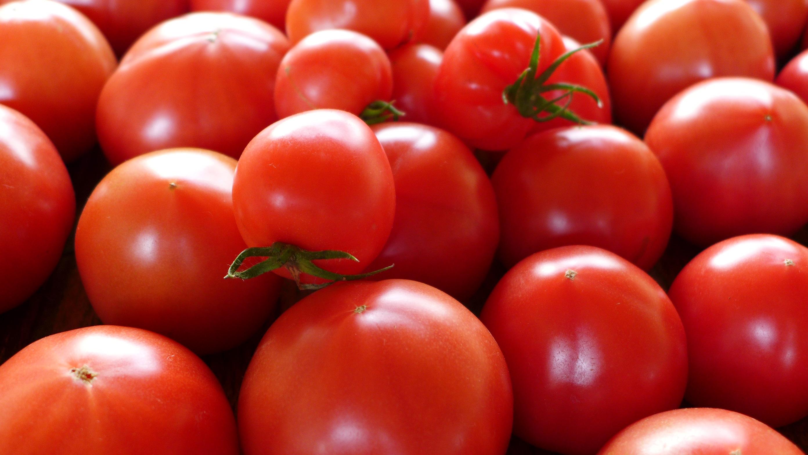 水気耕栽培のトマト