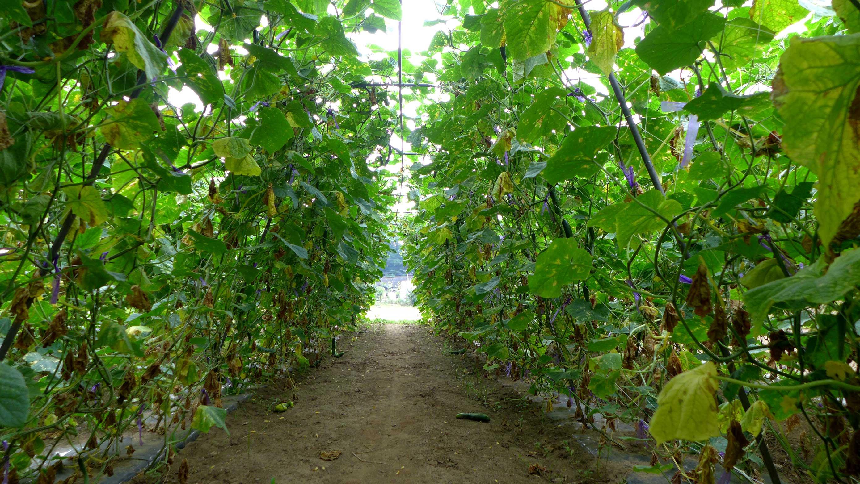 矢島農園 きゅうり畑