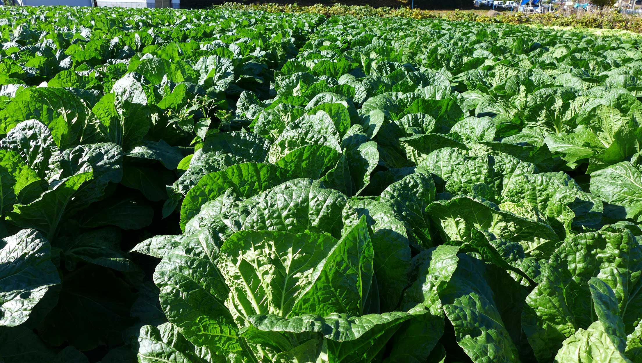 矢島農園 白菜の畑