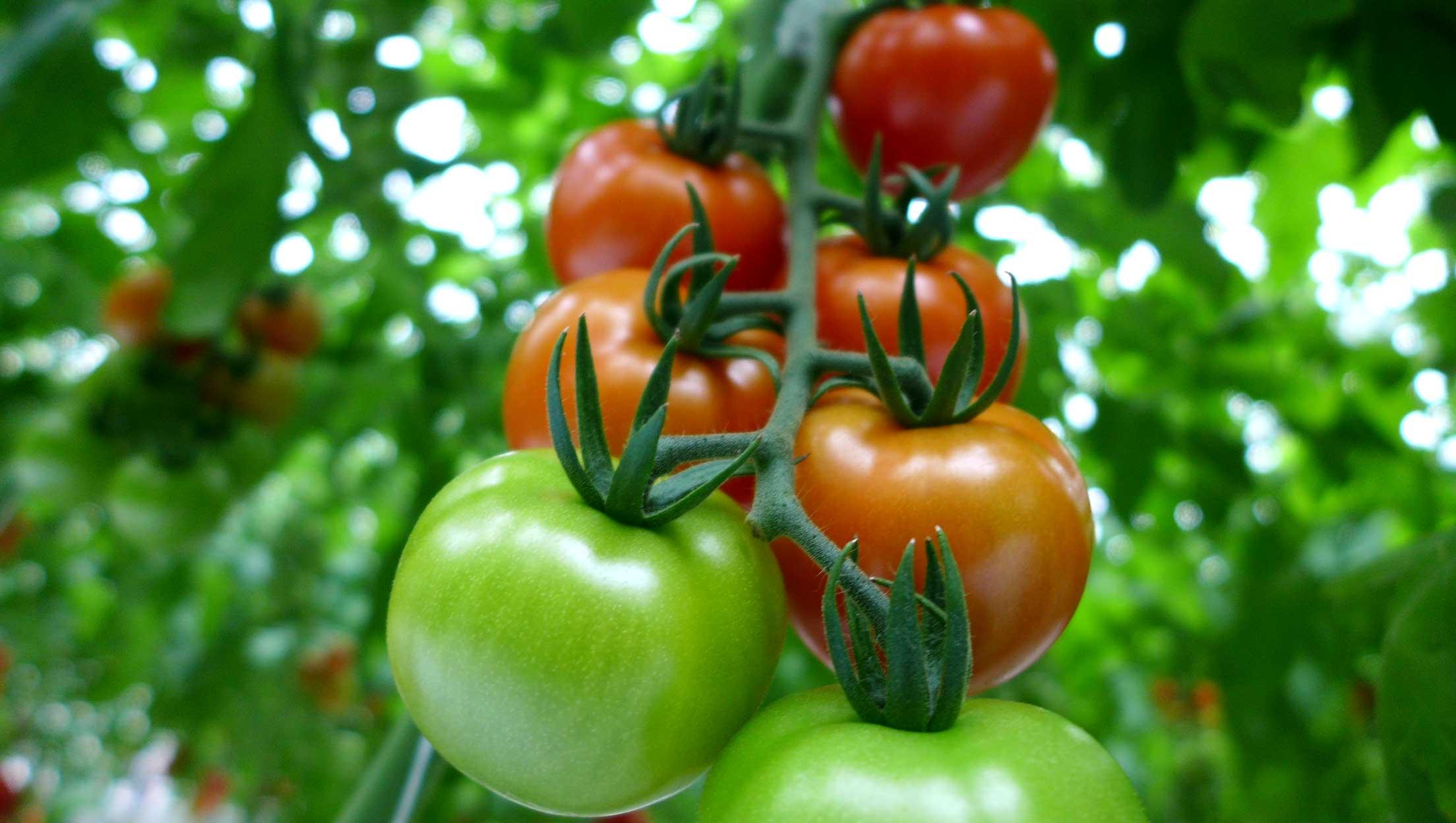 山本温室園 カンパリトマト