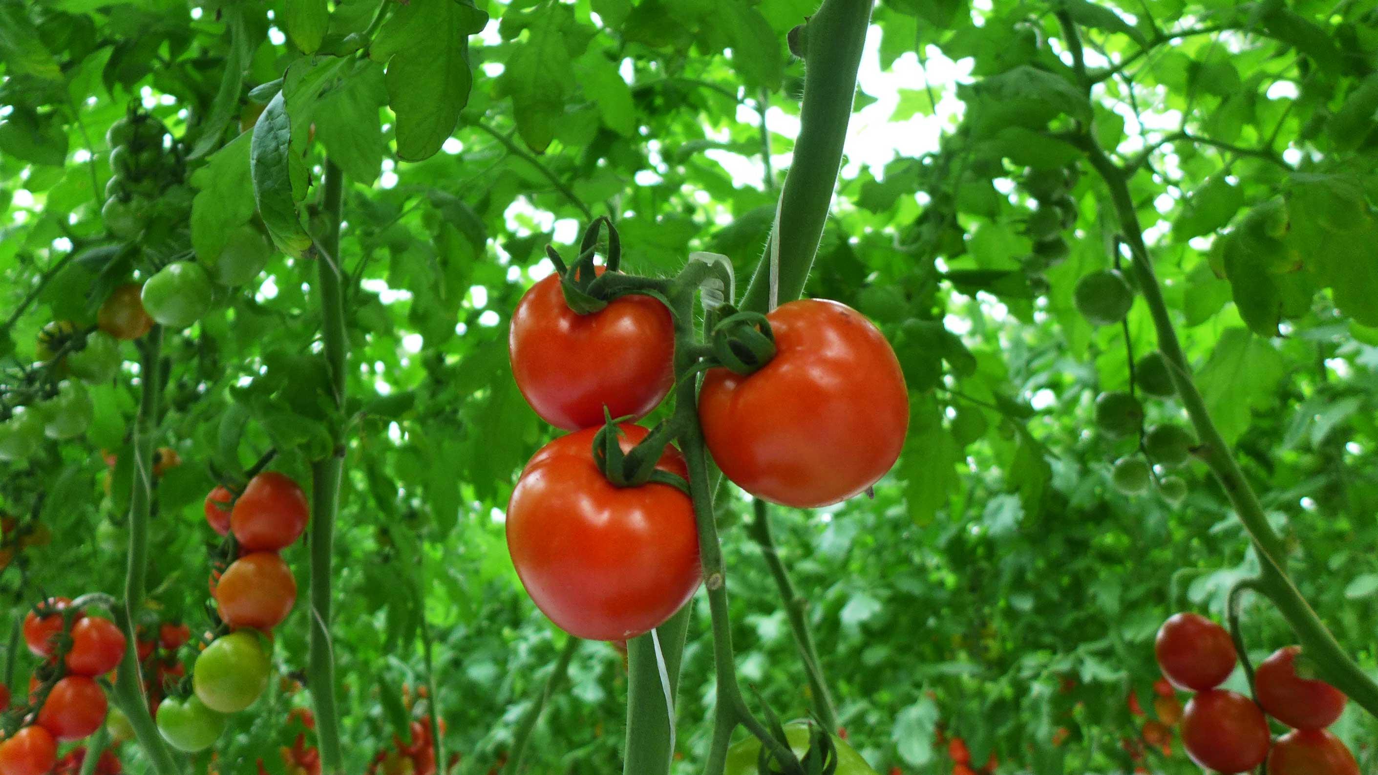 トマトの画像 p1_12