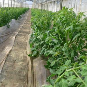 トマトの成長に欠かせない、脇芽を掻く作業