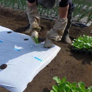 白菜の苗を定植しました