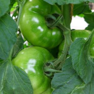 花びら取りと摘果作業、3段目のトマトまで完了