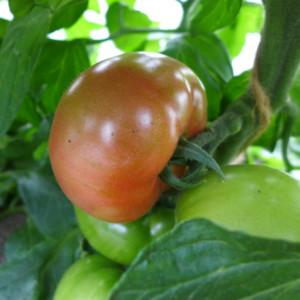 いよいよ赤く色づいたトマトが出てきました