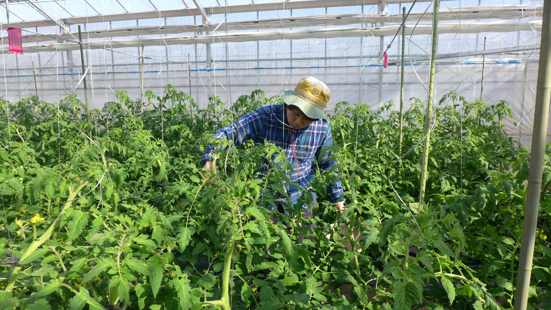 「サンロード トマトにこだわって栽培しています」まごころふぁーむ – 横山 宜美(よしみ)さん