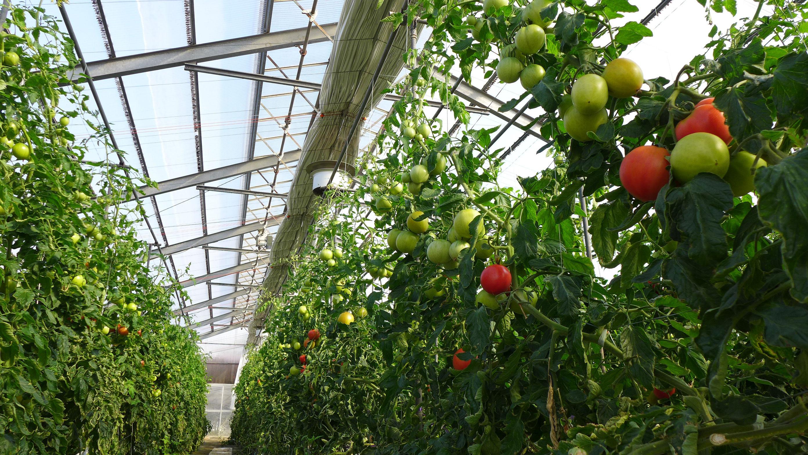 水気耕栽培のトマトハウス
