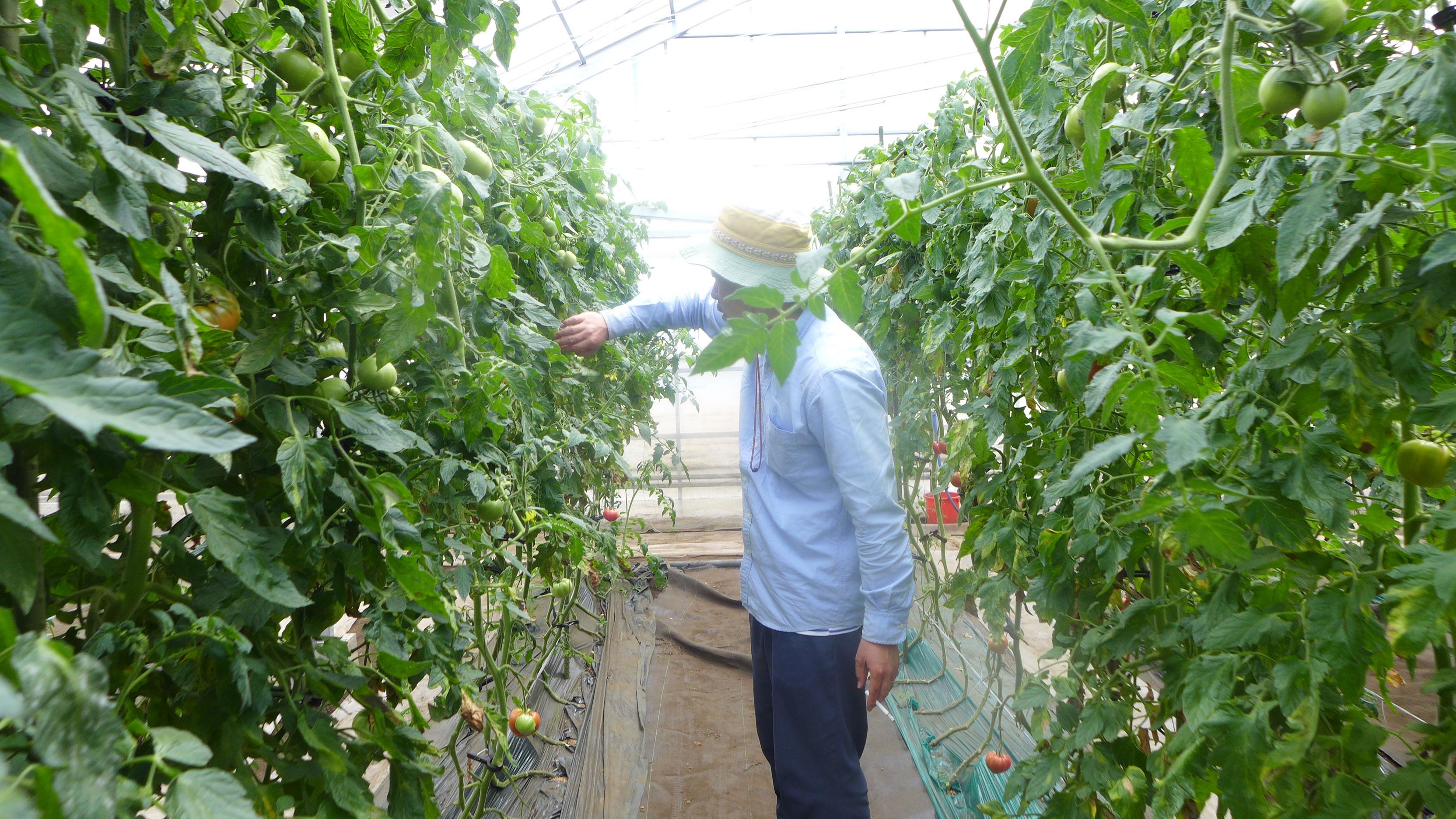 トマト サンロードの収穫
