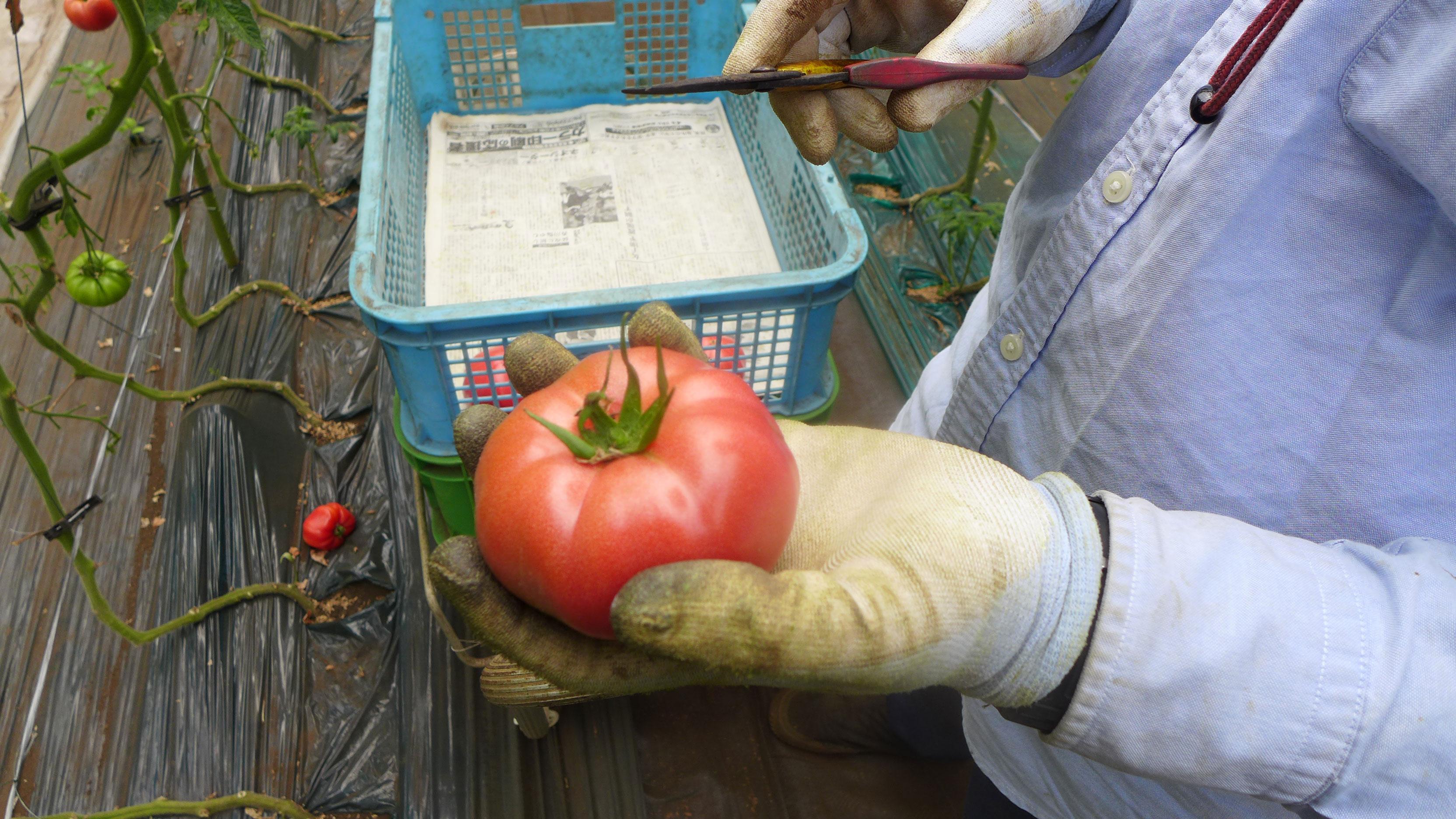 トマト サンロード