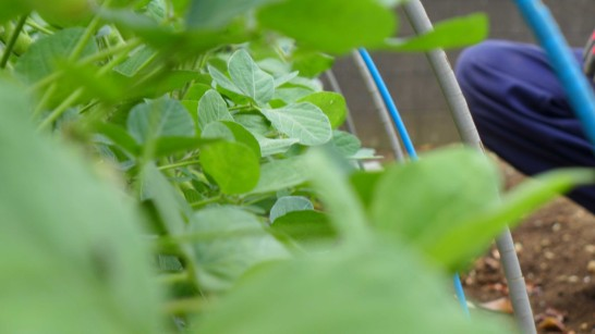 河原農園の枝豆(湯上り娘)