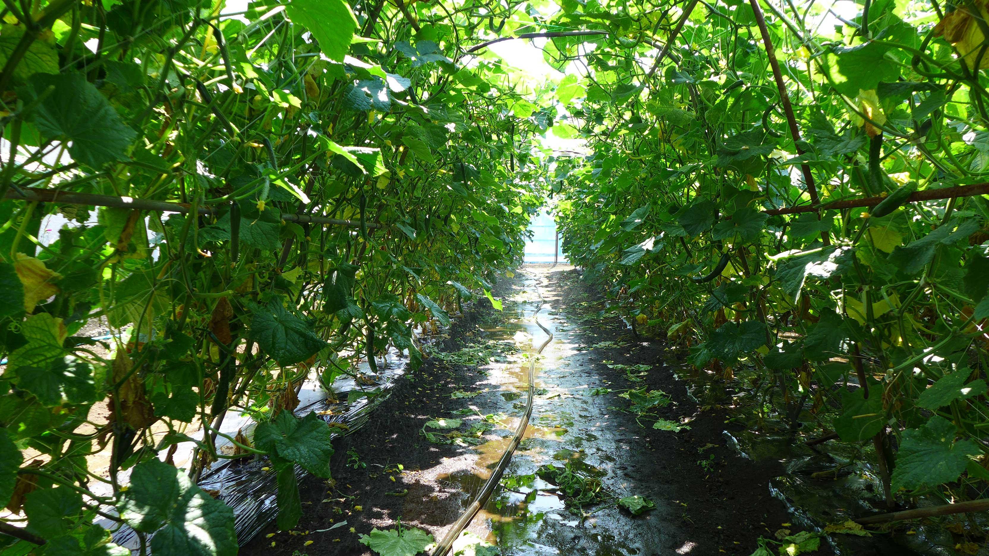 山本温室園 きゅうり畑