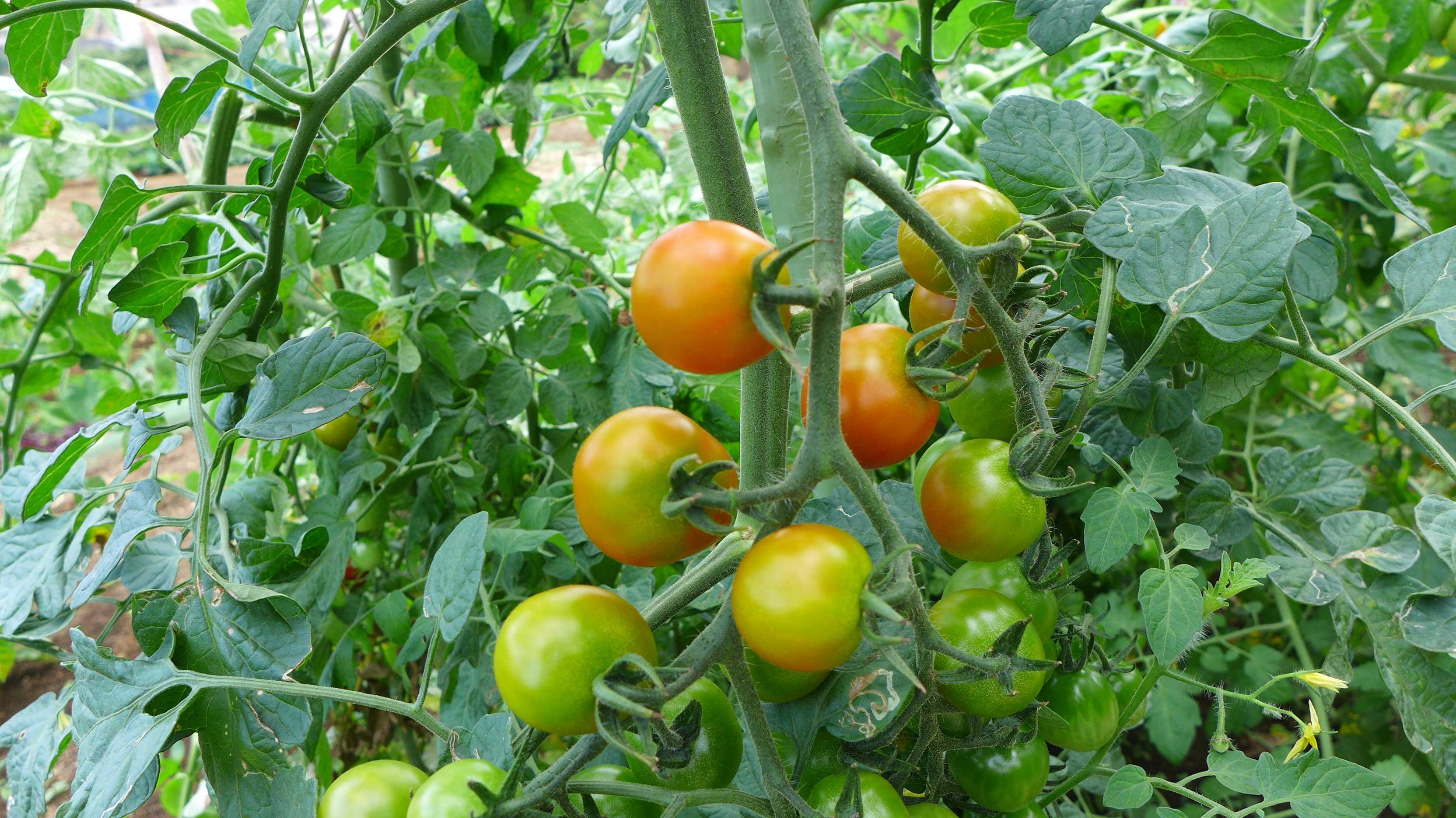 ユアーズガーデン トマト