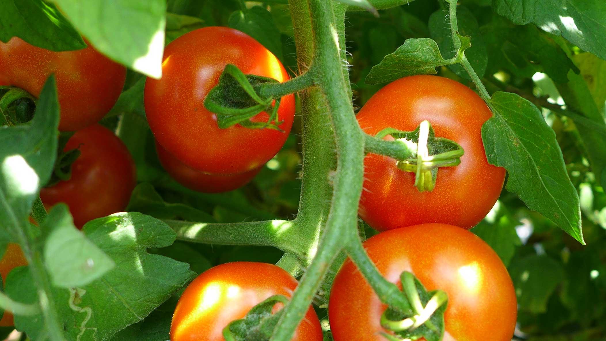 三村薫農園 トマト