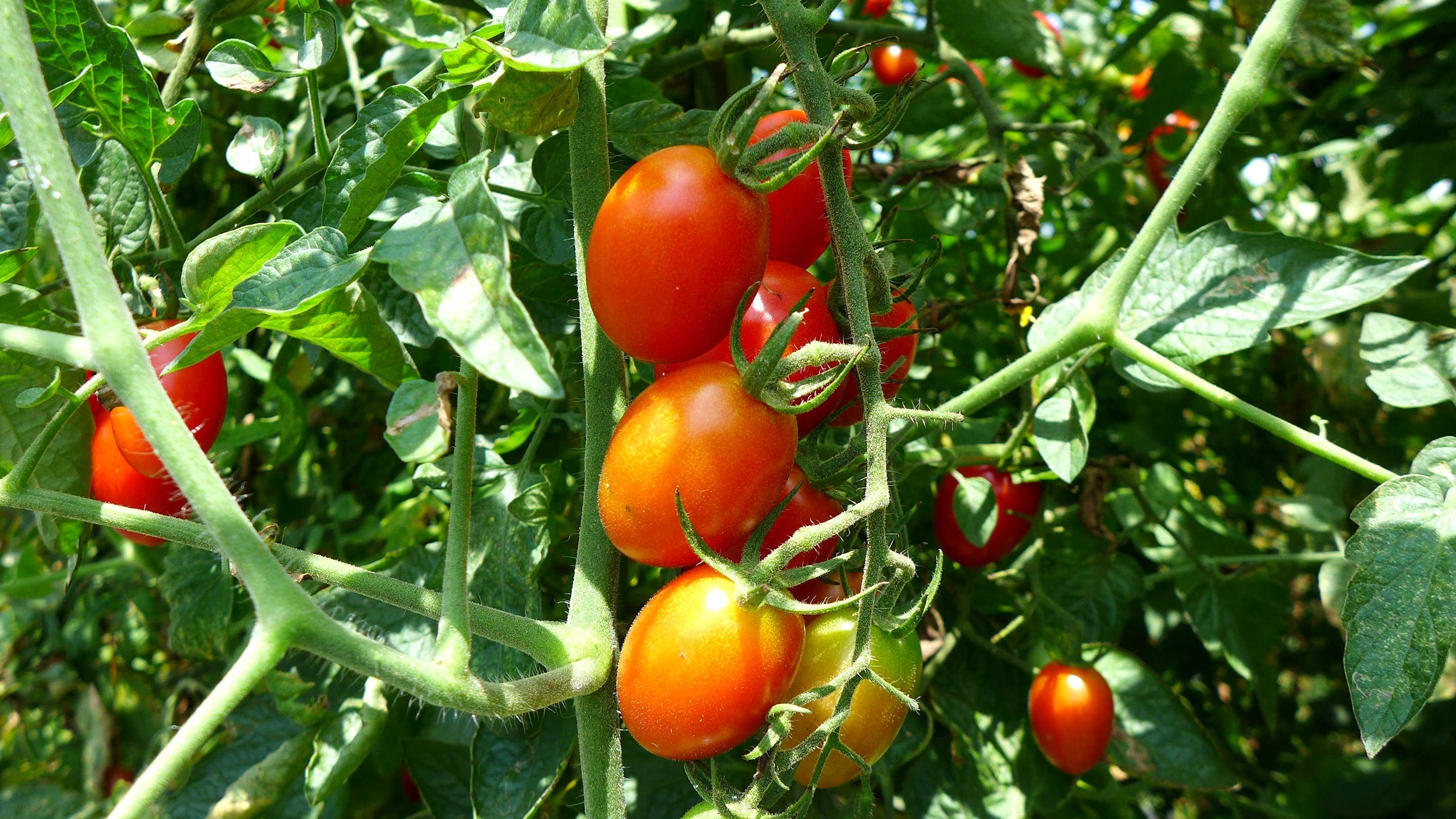 三村薫農園 フルーツトマト