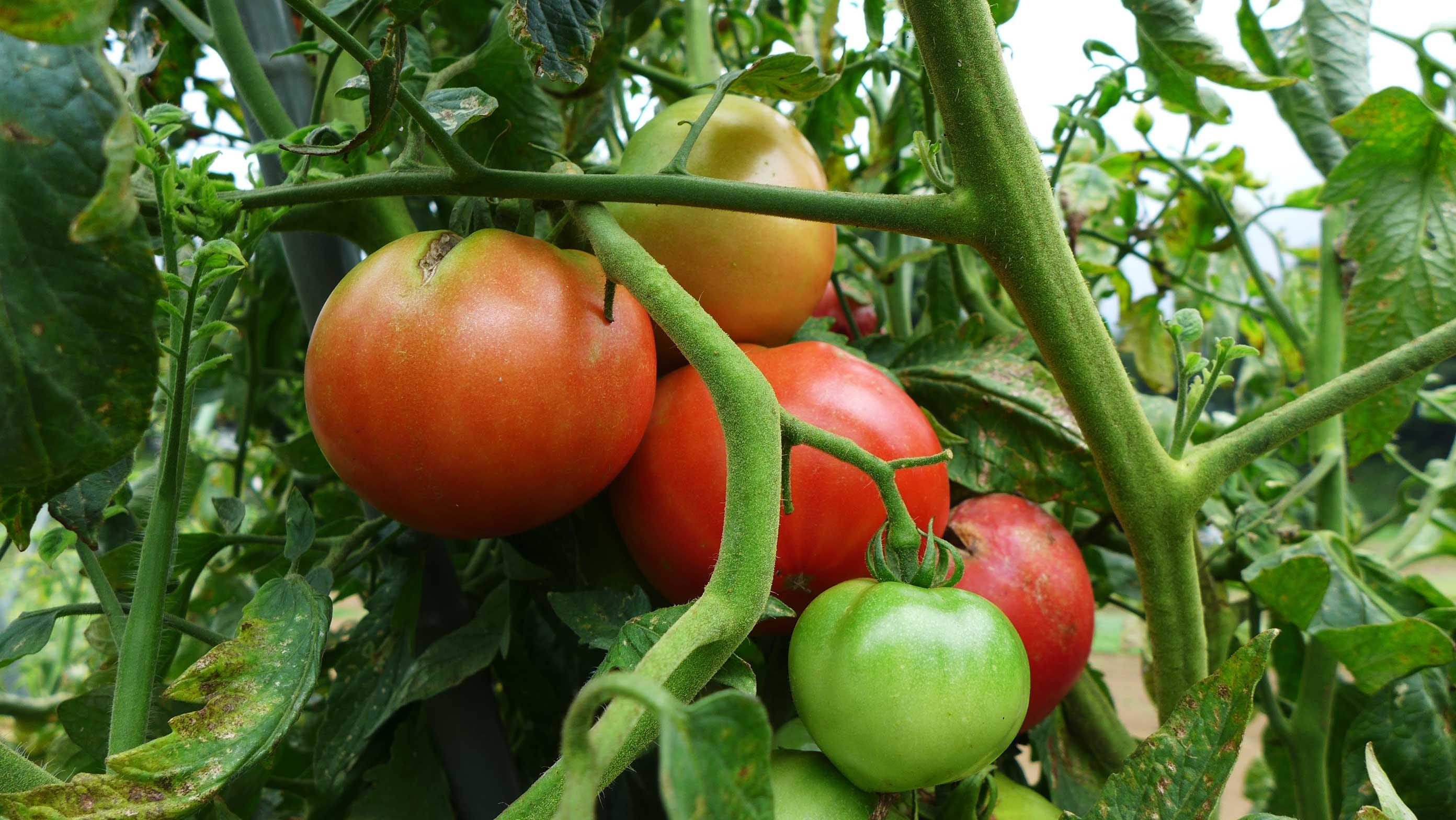 矢島農園 トマト
