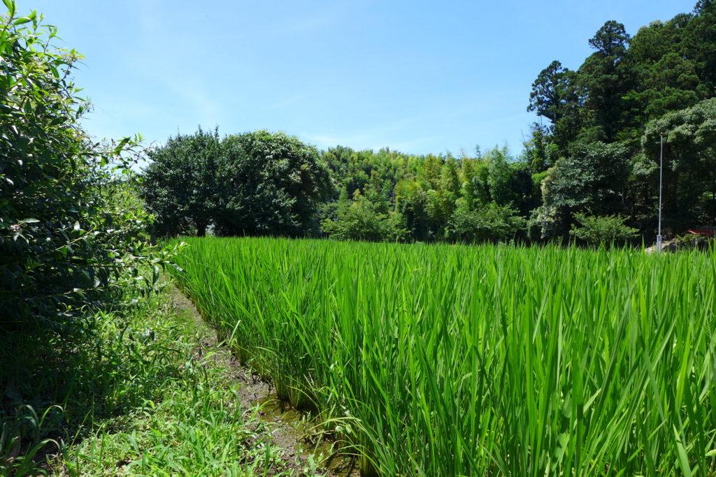 舞岡ふるさと村の田んぼ