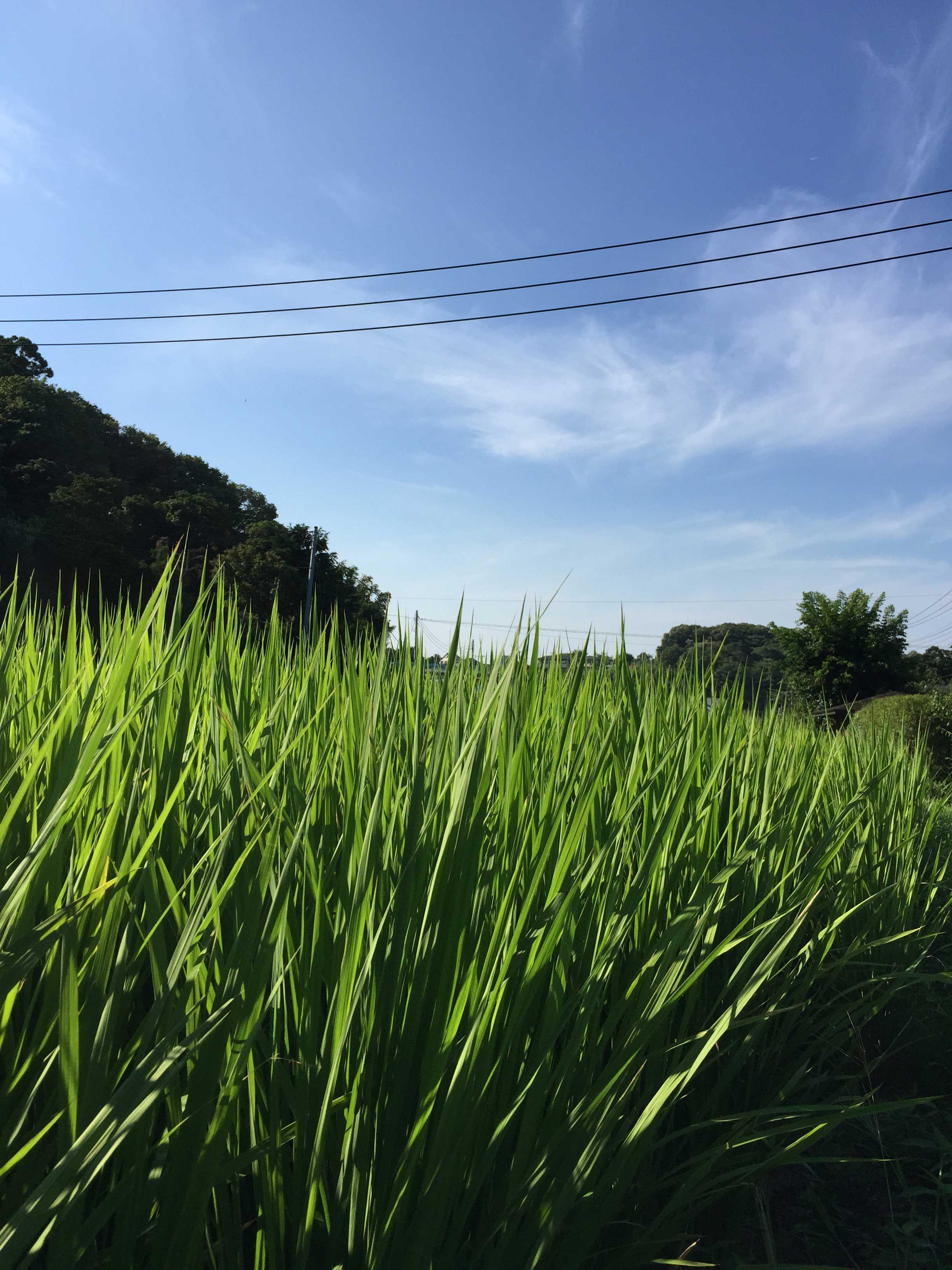 田んぼの風景 - 2015年7月27日