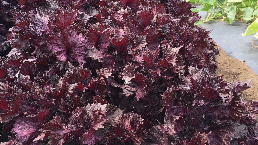 夏になると問い合わせが多くなる野菜、赤しそ