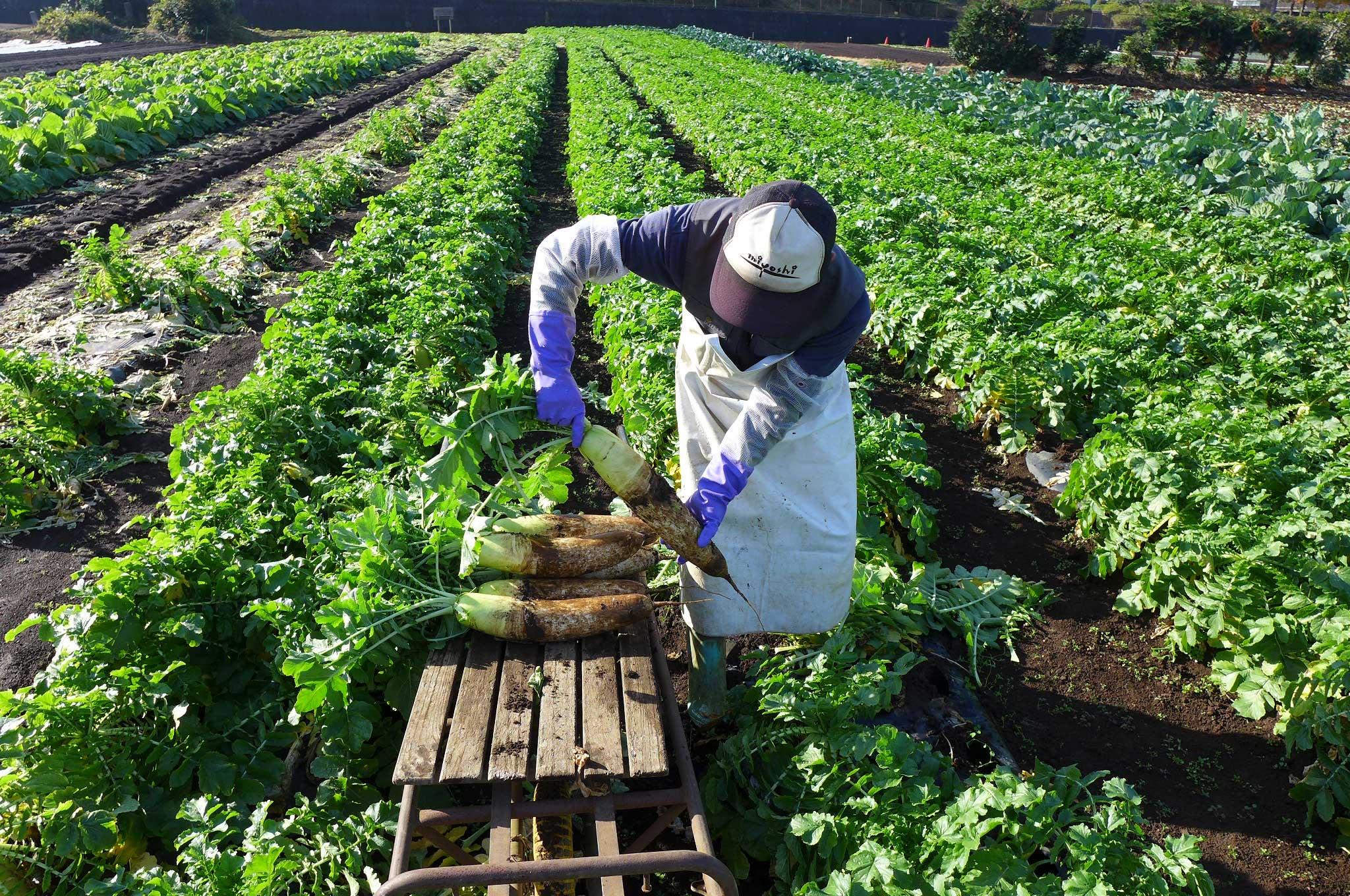 12月、横浜の畑では大根、かぶ、きゃべつ、ほうれん草、小松菜、など、たくさんの野菜が育っています