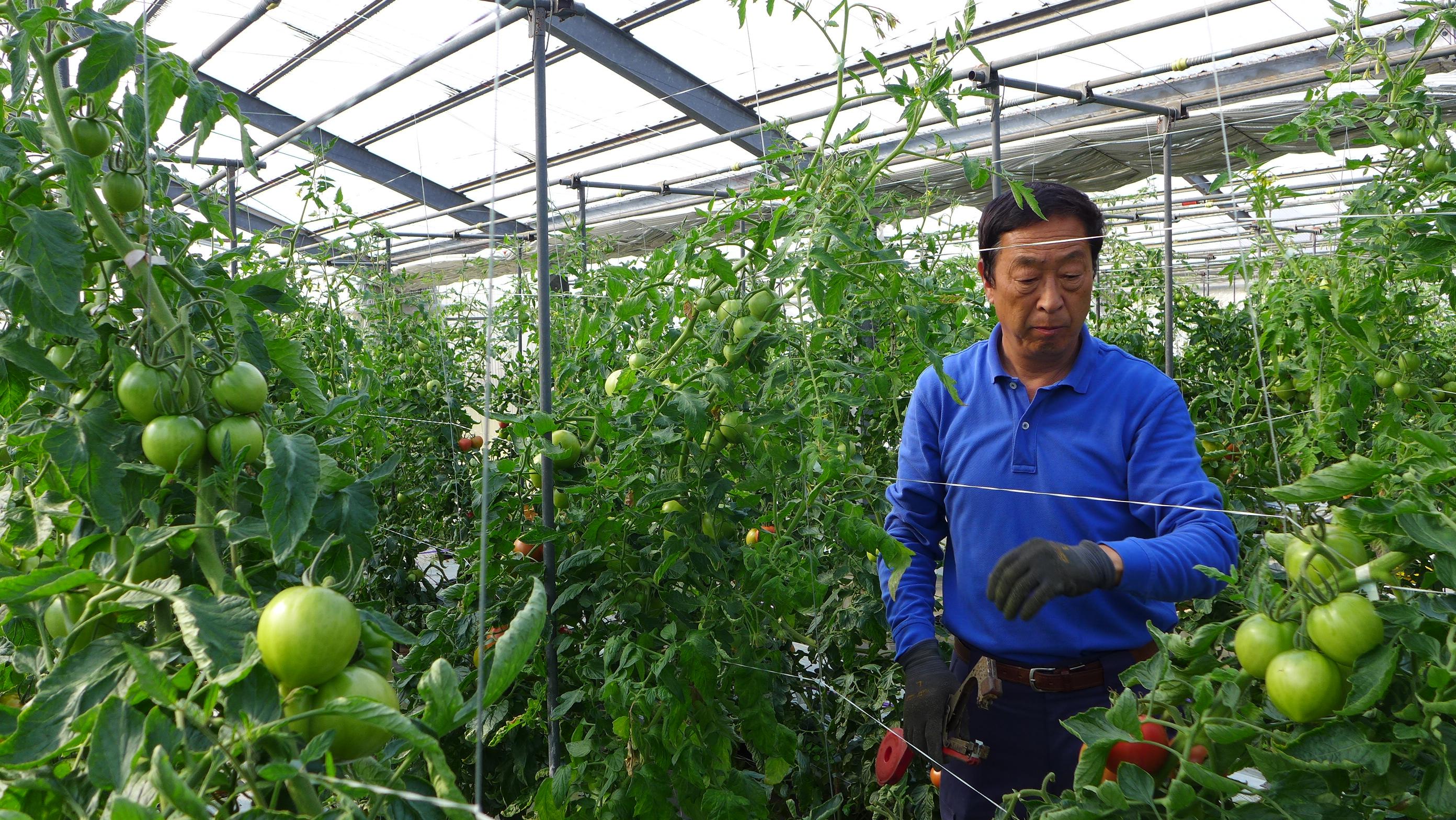 「やっと巡り合った栽培方法で育てたトマトを味わってほしい」トマトハウス – 金子 昇一さん