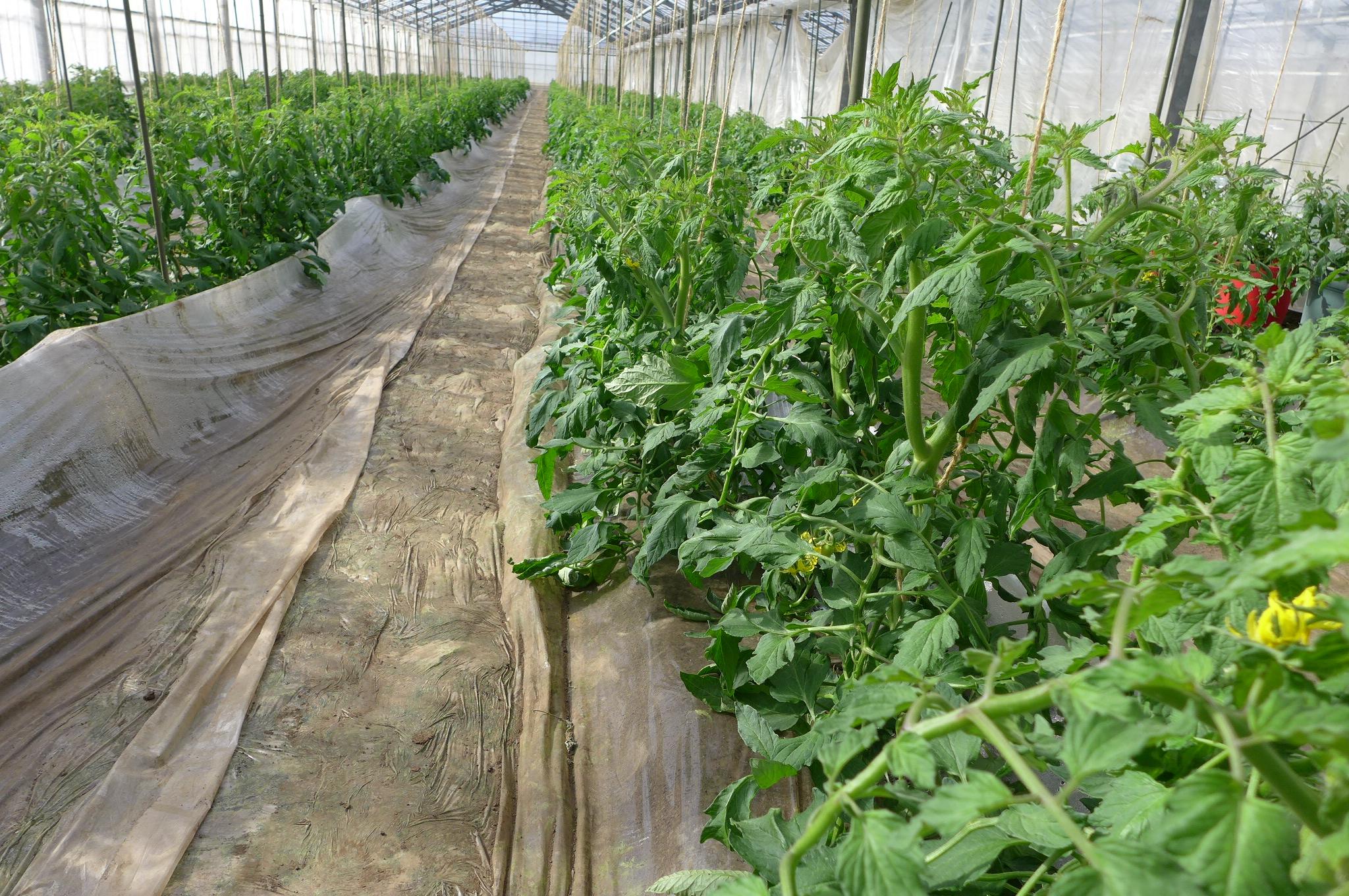 第3回 トマトの成長に欠かせない、脇芽を掻く作業