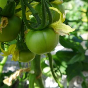 2段目にもトマトの花が咲き始めました