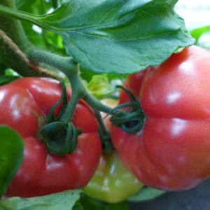 トマトの収穫、始まりました!