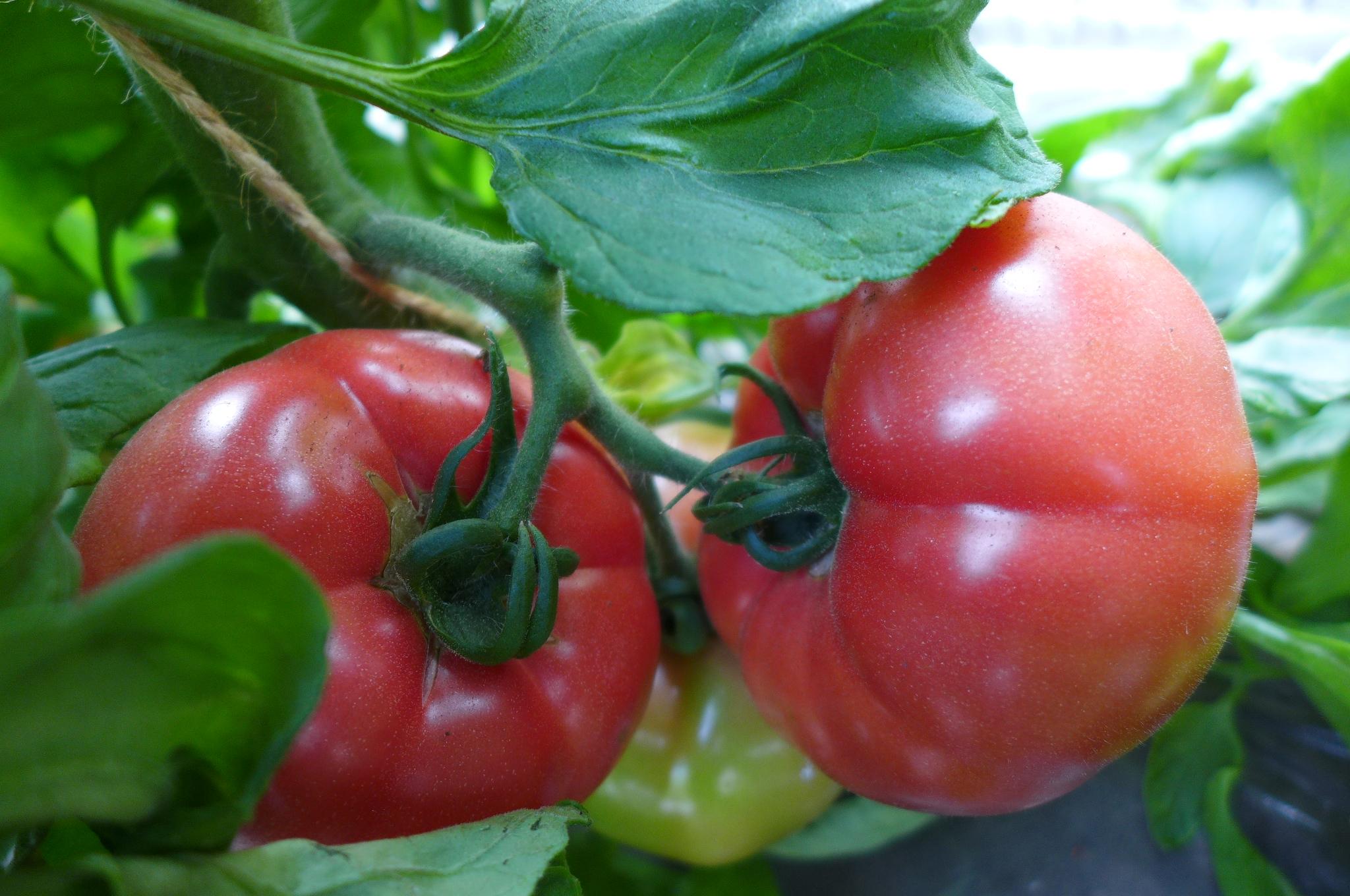 第11回 トマトの収穫、始まりました!
