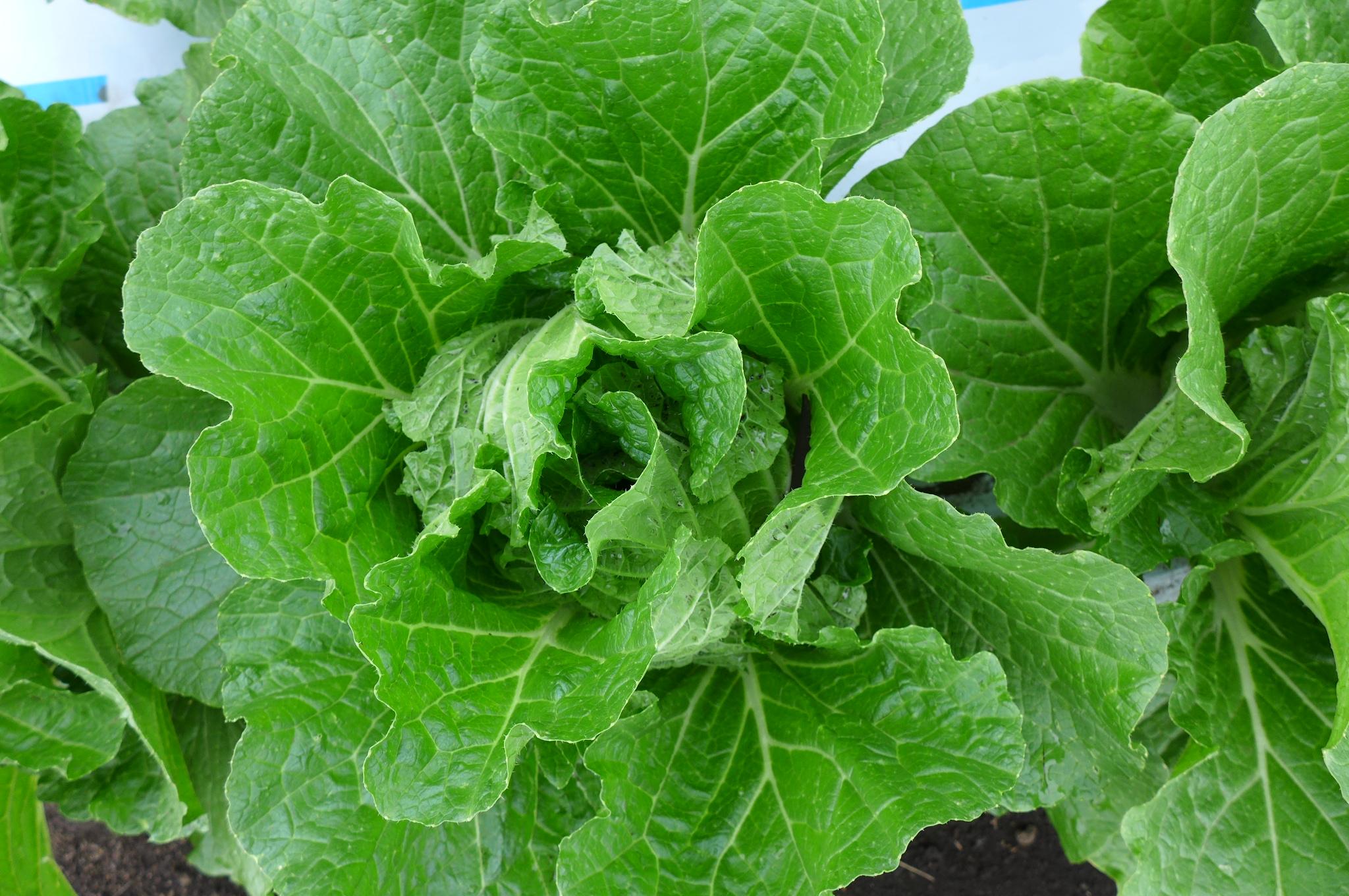 白菜もすくすくと順調に育っています