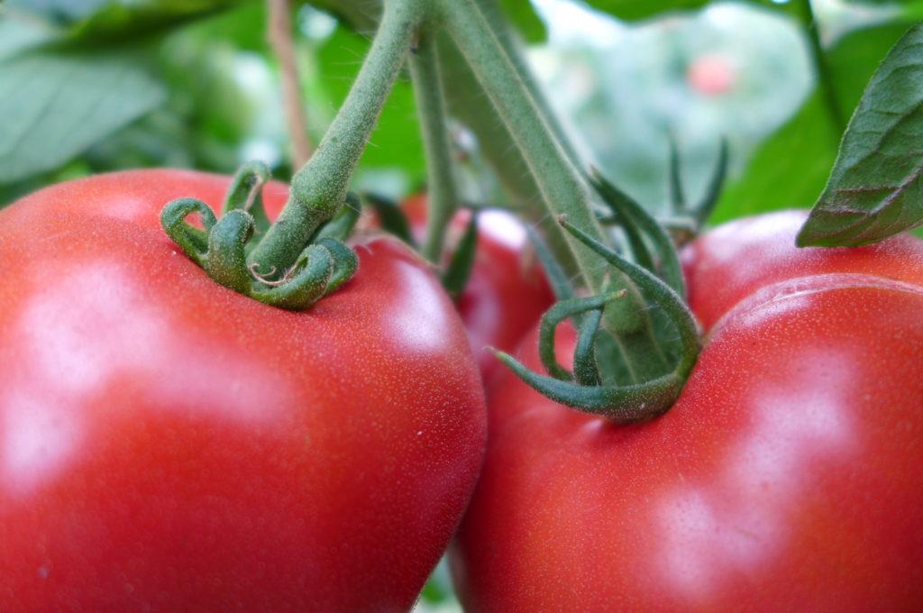 第17回 トマトの成長日記、最終回です